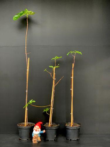 Ficus carica 'Napolitaine'