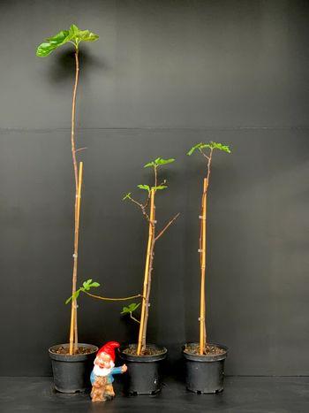 Ficus carica 'Portugal 80'