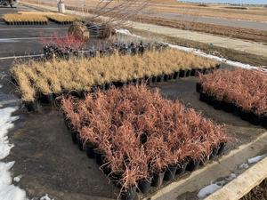 Ornamental grass containers ready to get planted