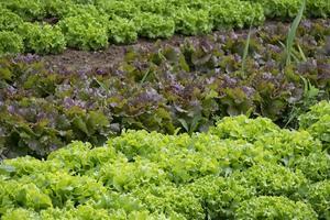 Garden-plants-lettuce-herb-soil