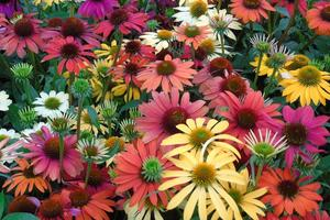 coneflower-echinacea-flower-flowering-plant-plant-purple-coneflower