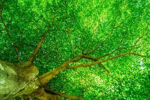 Shade Tree Canopy