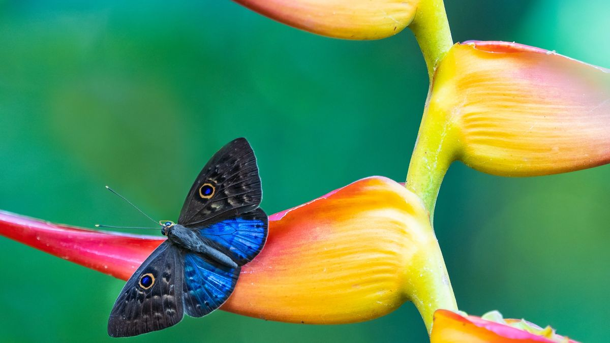 A blue butterfly on a tropical flower