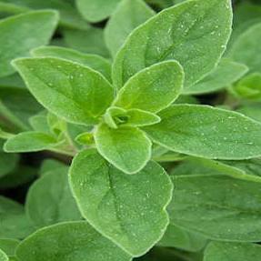 Wild Marjoram – USDA Certified Organic