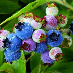Blueberry extract (fruit)
