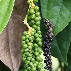 Black Pepper – USDA Certified Organic