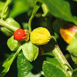 Ashwagandha extract (whole plant)