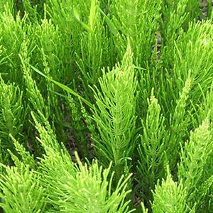 Horsetail herb powder