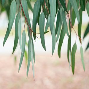 Eucalyptus – USDA Certified Organic