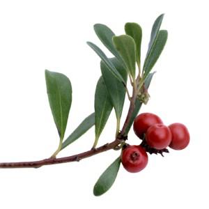 Raw Uva Ursi Leaf Wildcrafted Freeze-dried