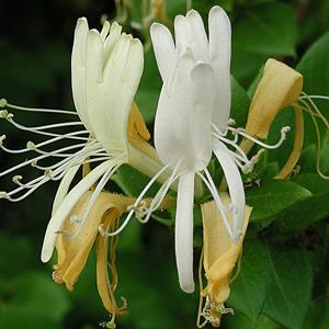Honeysuckle Flower Extract