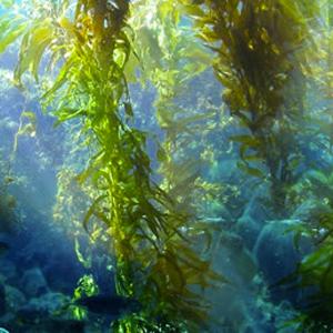Fucoidan (60% fucoidan from bladderwrack whole seaweed extract)