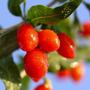 Goji berry extract (fruit)