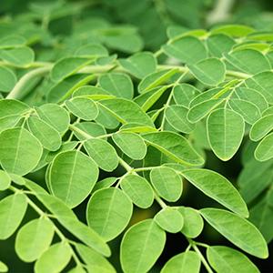 Organic moringa leaf extract