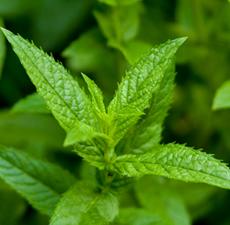 Peppermint Japanese Organic Essential Oil