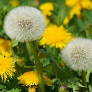 Organic Dandelion