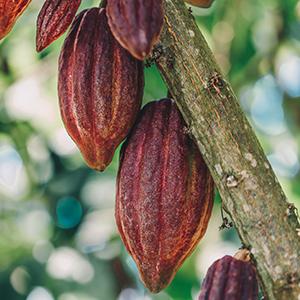 Organic raw cacao bean powder