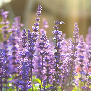 Clary Sage – USDA Certified Organic
