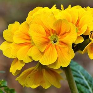 Organic Evening Primrose