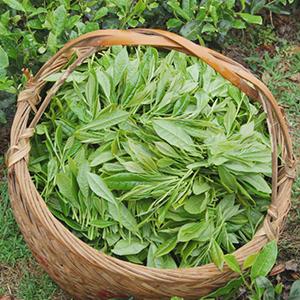 White Tea Leaf Extract