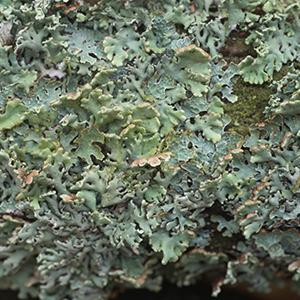 Vitamin Dз (as lichen plant extract)