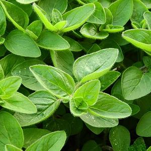 Oregano – USDA Certified Organic