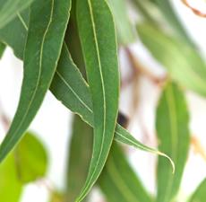 Eucalyptus Organic Essential Oil (Blue Mallee)