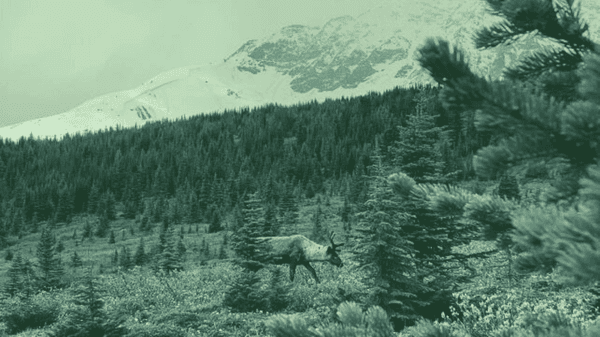 Image affected with a green overlay. Caribou in the grass and trees with a mountain in the background.