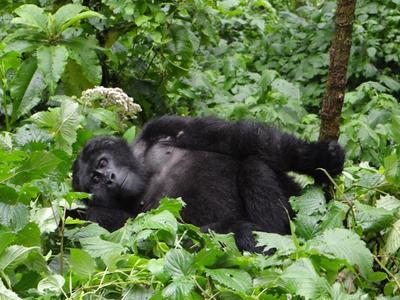 Four-Day Gorilla Safari via Entebbe/Kampala