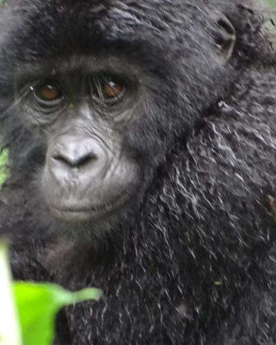 Five-Day Double Gorilla Trekking via Entebbe