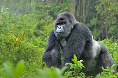 Three-day Gorilla Safari