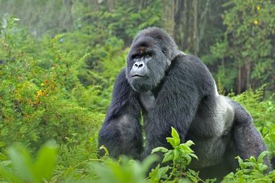 Three-day Gorilla Safari