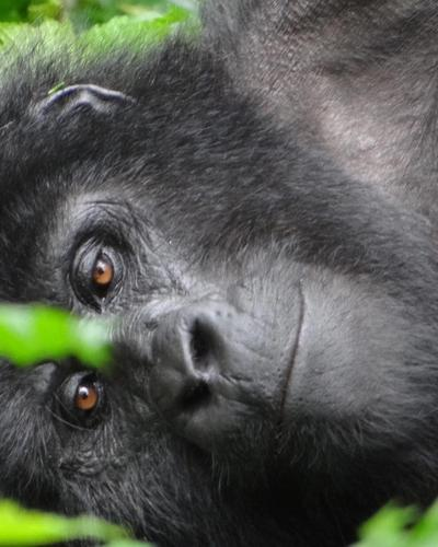 Four-Day Gorillas Fly in Package