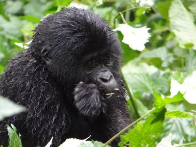 Six-Day Gorillas and Chimpanzee Habituation