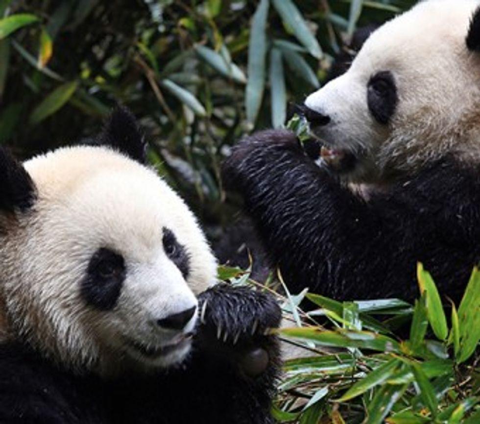 WFF, pandas, cookstove, protecting pandas