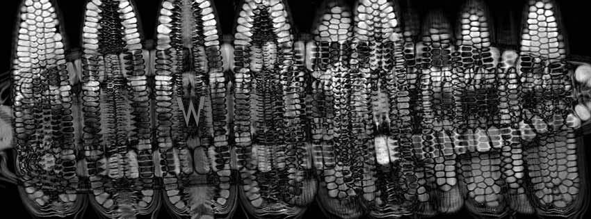 Corn Gets an MRI