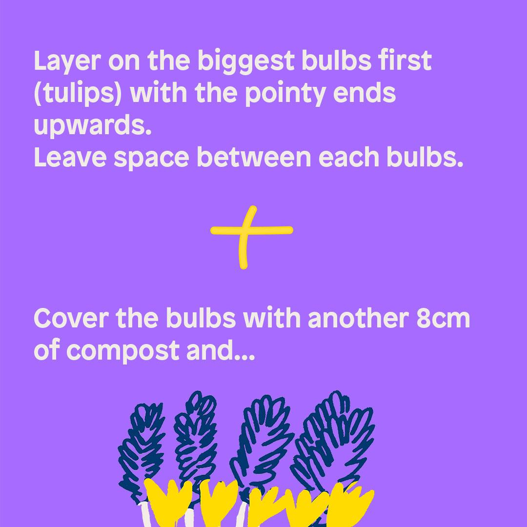 Layer on the biggest bulbs first (tulips) with the pointy ends upwards.  Leave space between each bulbs. + Cover the bulbs with another 8cm of compost and...