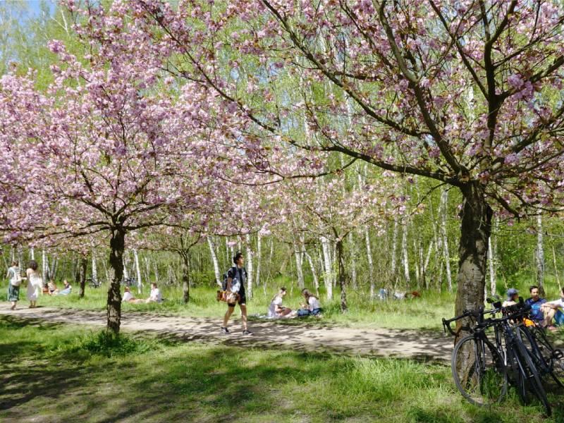 Cherry blossom avenue in south Berlin