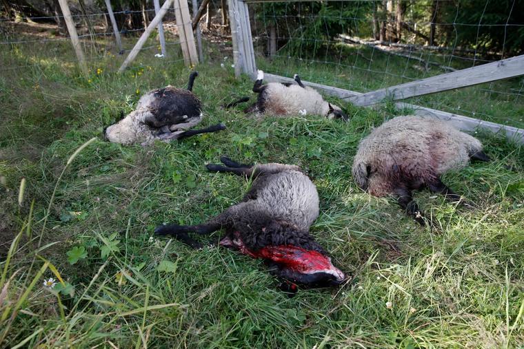 Slik så det ut etter et ulveangrep i Ytre Enebakk i 2015. Et tyvetals sauer ble drept på en gård like ved Østmarka i Akershus.