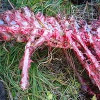 Elgkadaveret som ble funnet i Nordmarka 1. oktober.