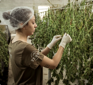 woman clipping cannabis