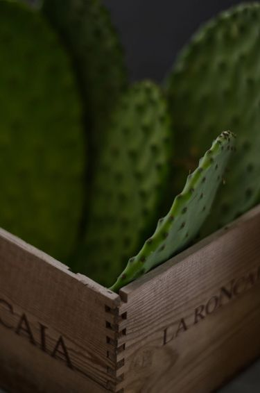 Close up shot of cactus pads (cactus leaves / cactus paddles / nopales) in a wooden box