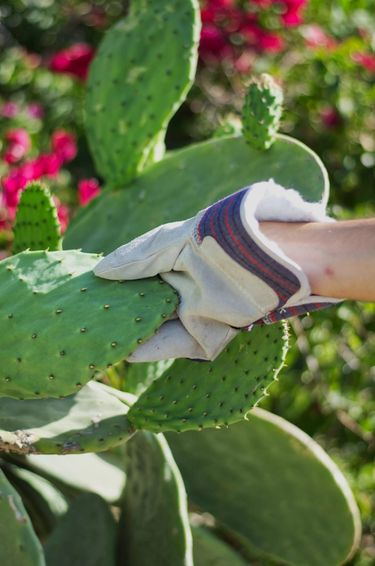 Gloved hand grabbing a cactus pad (cactus leave / cactus paddle / nopales) attached to a wild cactus plant
