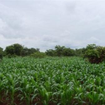 Plant an orphan maize garden