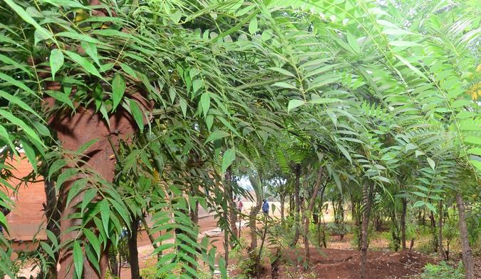 Acacia trees growing around M'Bang'Ombe school