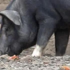 Buy a pig