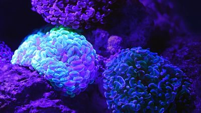 A garden like arrangement of beautiful glowing soft corals in a dark tank at the Cairns Aquarium.