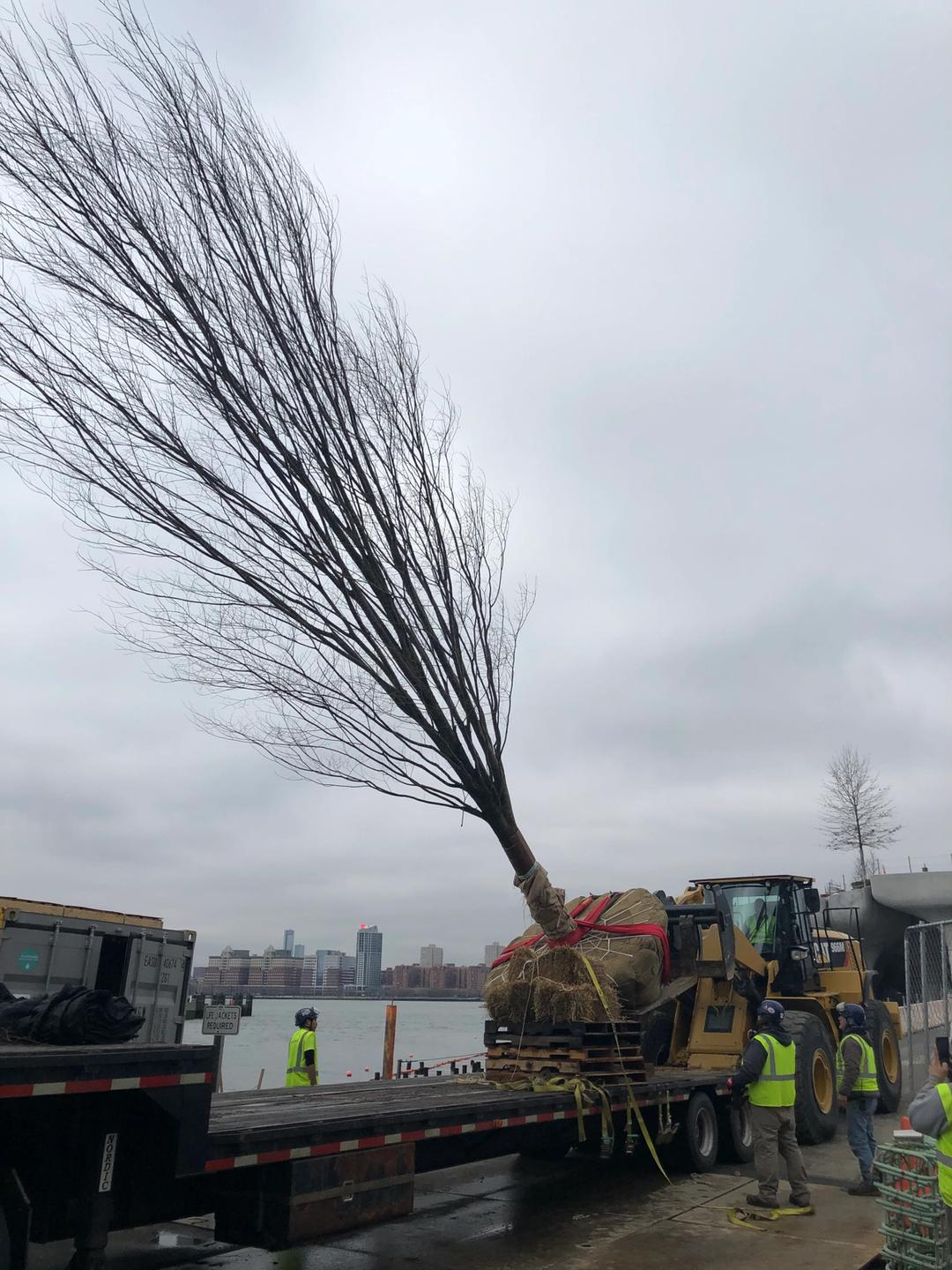 A tree being transported on a truck.