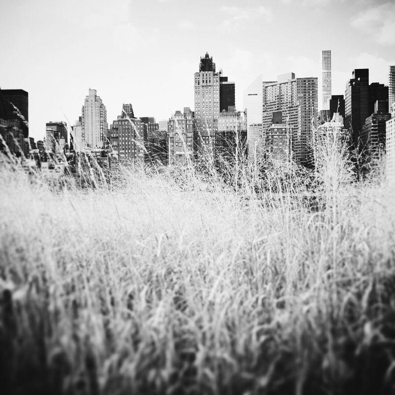 NEW YORK GRASS