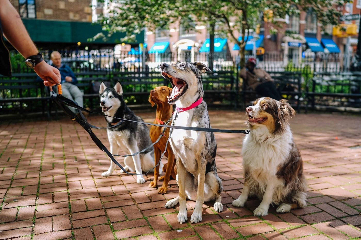 Quatre chiens en laisse